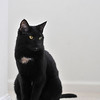 Feb. 18, 2012 - Black cat. White background. Take a picture. (65/366)