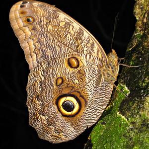 Owl butterfly 7x7