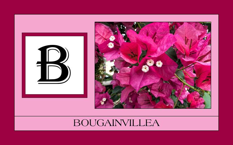 B for Bougainvillea