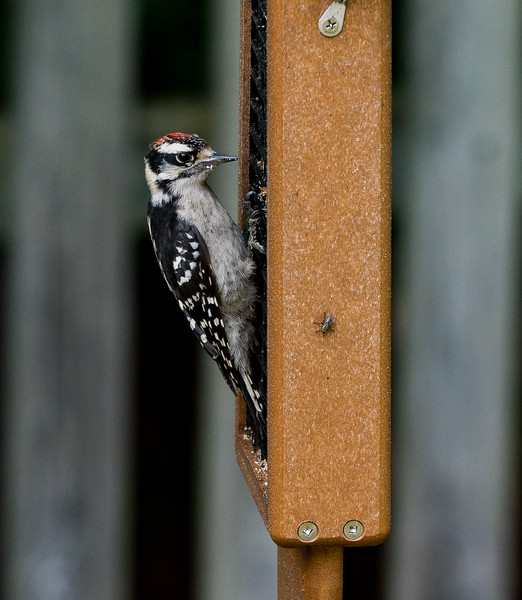 Harrie Woodpecker