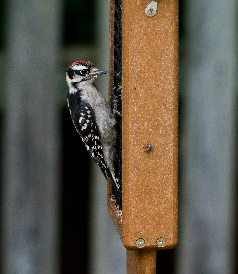 Harrie Woodpecker