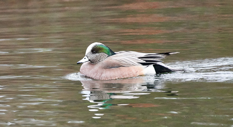 American Wigeon on the water