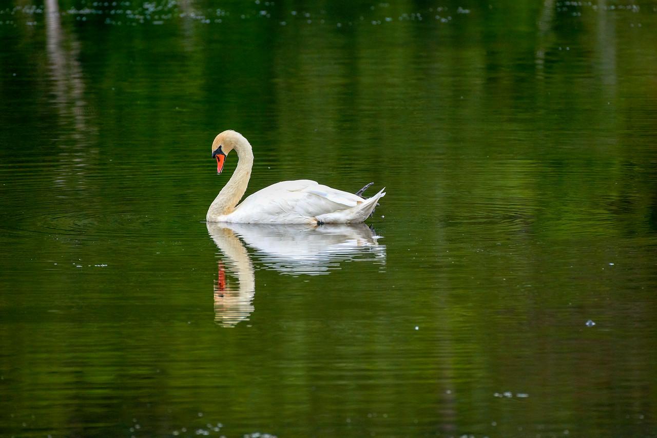 Swan crusing