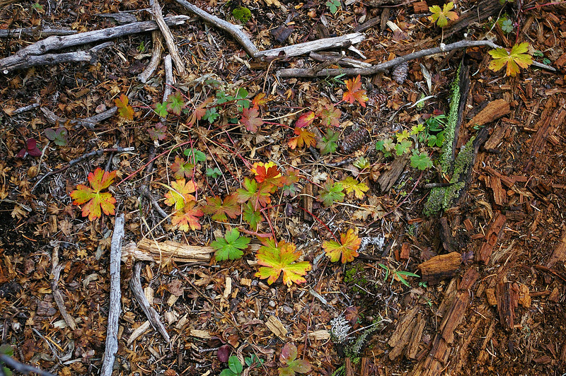 Forest floor near top of Escudilla Mountain trail (Oct 2006)
