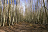 Aspen grove, lower end of Escudilla Mountain trail (Oct 2006)