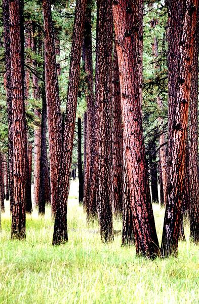 Tall pines along FR 25 near Conklin Creek, Apache National Forest, AZ (Oct 2014, HDR)