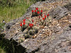 Cactus growing along rock near Fish Creek (Jun 2005)
