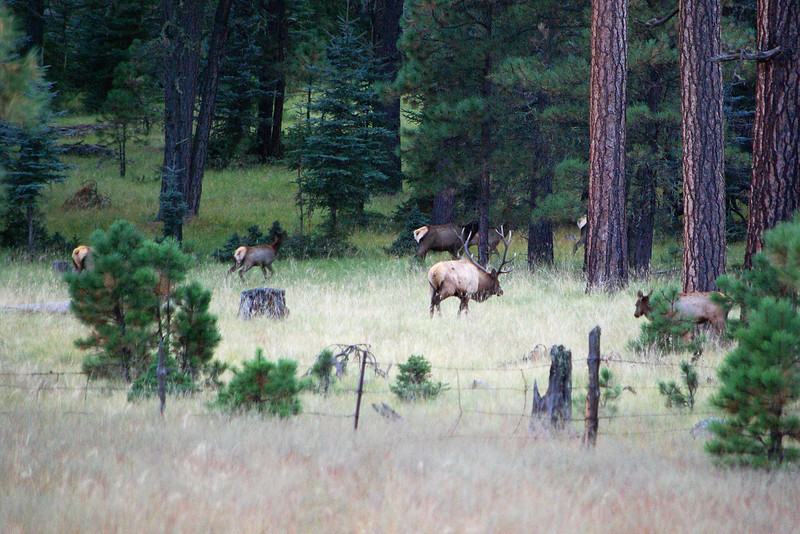 Grazing elk, central Apache National Forest, AZ (Oct 2008)