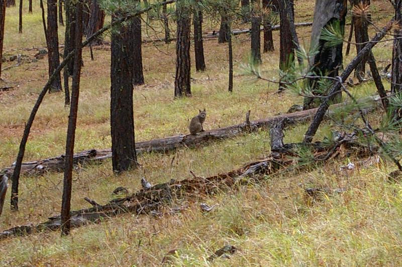 Bobcat, Bear Creek Trail, Apache National Forest, AZ (Oct 2006)