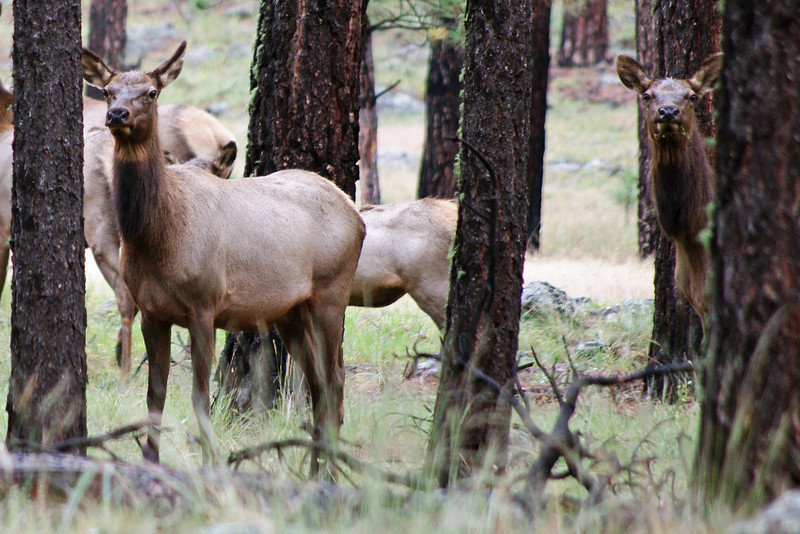 Cow elk south of Beaver Creek along FR 24, Apache National Forest, AZ (Oct 2014)