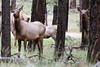 Cow elk south of Beaver Creek along FR 24, Apache National Forest, AZ (Oct 2014)