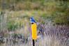 Mountain bluebird near Thompson Trail head, Apache National Forest, AZ (Oct 2014)