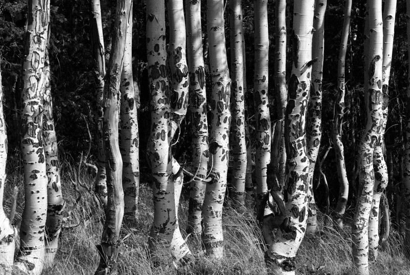 Aspen trunks, halfway up Escudilla Mountain trail (Sep 2007)