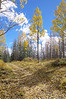 Aspen fall color, Escudilla Mountain, Apache National Forest, AZ (Oct 2014, HDR)