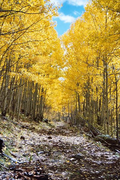 Aspen grove, lower end of Escudilla Mountain trail (Oct 2004)