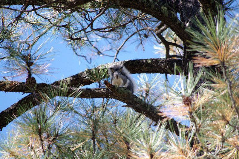 Albert's squirrel, Apache National Forest (Oct 2013)