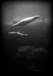 Sea Lion Pair