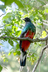 Eared Quetzal (male)