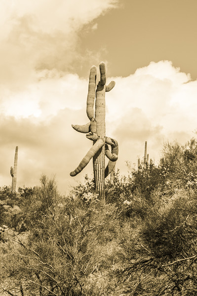 Saguaro cactus, Castle Hot Springs road, AZ (Feb 2019)