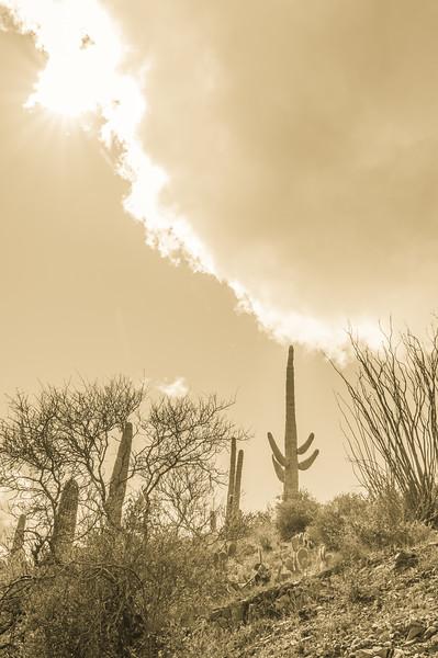 Saguaro cactus, Castle Hot Springs road, AZ (Feb 2019)