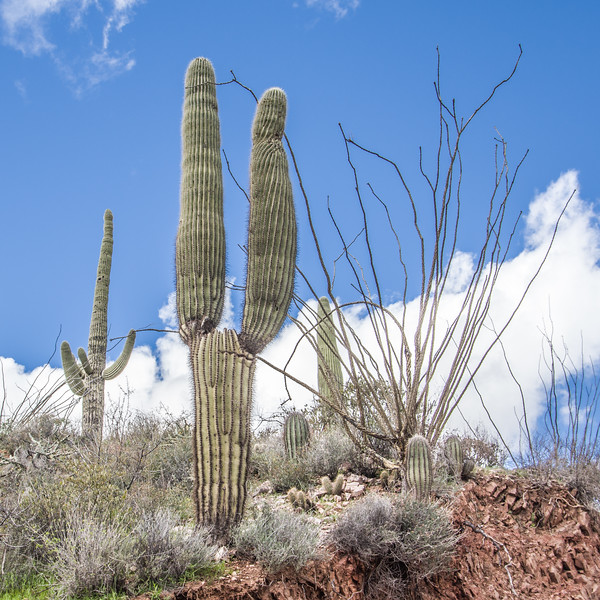 Saguaro rabbit ears, Castle Hot Springs road, AZ (Feb 2019)