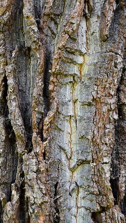 English Oak (Europe)