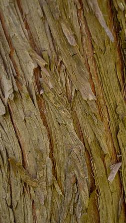 Chinese Juniper (NE Asia)