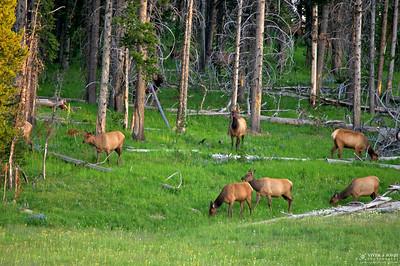 Herd of Female Elks