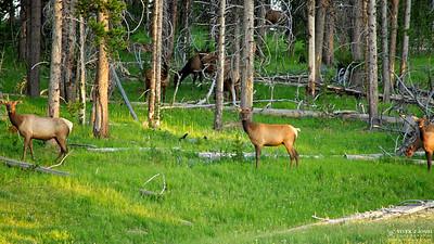 Three Musketeer Elks
