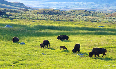 Bison with their Calf Grazing in Lamar Valley