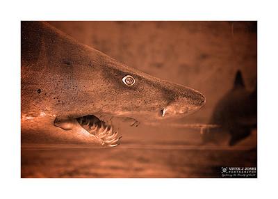 Shark At Pittsburgh Zoo