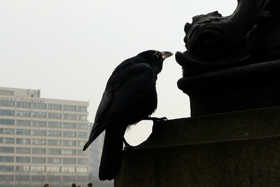 Crow by the River Thames