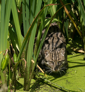 Fishing Cat - Kevin O'Neill