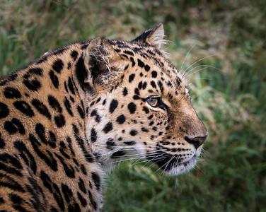 SteveH Leopard