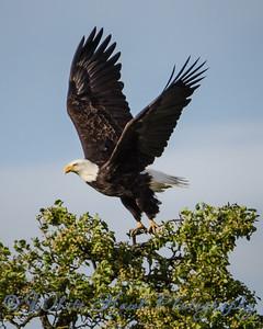 2016-04-04 - Bald Eagle