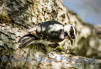 2016-04-07 - Hairy Woodpecker