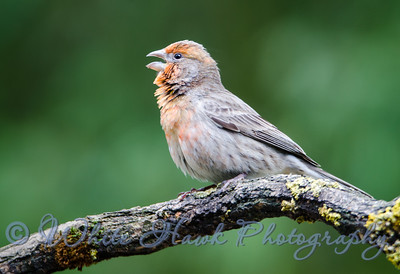 2016-04-15 - House Finch, male