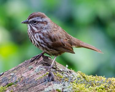 2016-04-20 - Song Sparrow