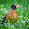 2016-04-30 - American Robin