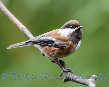2016-04-11 - Chestnut  - backed Chickadee