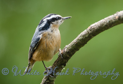 2016-04-23 - Red-Breasted Nuthatch