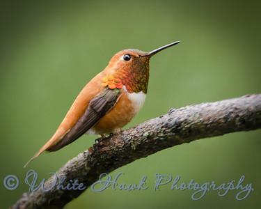 2016-04-24 - Rufous Hummingbird
