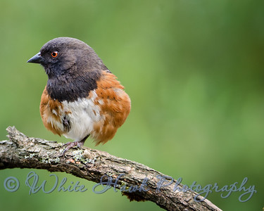 2016-04-08 - Spotted Towhee