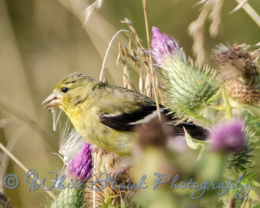 2016-08-06 - American Gold Finch