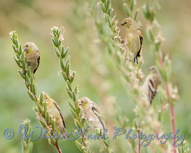 2016-08-28 - American Gold Finch