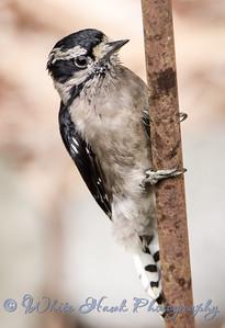 2016-08-31 - Downy Woodpecker