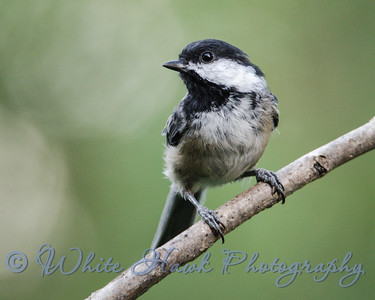 2016-08-26 - Black-capped Chickadee