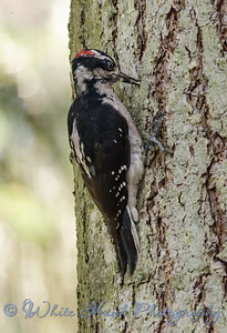2016-08-29 - Hairy Woodpecker