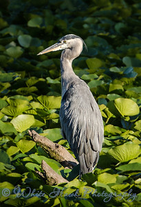 2016-08-16 - Great Blue Heron