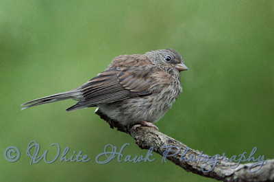 2016-08-15 - Dark-Eyed Junco -Juvenile